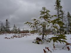 Peat Bog - Tuckamore Tree (Boreal) Tags: newfoundland peat bog