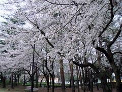 070402 SAKURA 桜