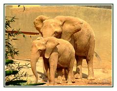 Amizades Verdadeiras... (Anderson Sutherland) Tags: friends elephant amigos true brasil jj saopaulo sopaulo sp janine milena elefante zoosp friendships meyre elefantes sopaulo verdadeira tuvy paulopaiva isabelavistue amizades andersonsutherland renataserelepe andersonsutherlandii