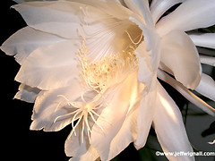 Night Blooming Cereus (Jeff Wignall) Tags: stamen epiphyllum cereus wignall nightblooming nightflowering blueribbonwinner instantfave nightfloweringcereus