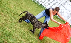 Ole! (robstephaustralia) Tags: dog cute puppy dante great mastiff dane bullfight toro matador