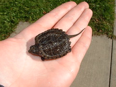 Baby Snapping Turtle - by Sarah Hatfield