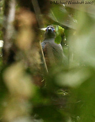 Sickle-winged Guan (Michael Woodruff) Tags: bird southamerica birds ecuador birding sa guan tandayapa tandayapavalley sicklewinged nwecuador sicklewingedguan chamaepetes chamaepetesgoudotii