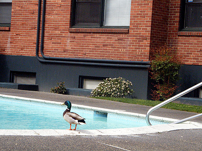 Duck poolside