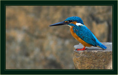 Common Kingfisher (Anoop Anand A) Tags: india bird birds canon 350d kerala 3a kingfisher canon350d l canoneos350d anoop ef aaa trivandrum 400mm commonkingfisher alcedoatthis canonef400mmf56l vellayani anoopaa anoopananda anoopco wwwanoopco httpwwwanoopco