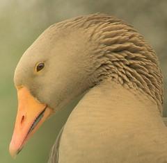 teeth (Harry Mijland) Tags: bird goose gans vogel waterlinie naturesfinest dearharry abigfave impressedbeauty avianexcellence harrymijland