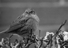 Dunnock (*ian*) Tags: blackandwhite bw bird closeup blog ps dunnock hedge favourite featheryfriday bigemrg apr2007blog