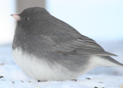 dark-eyed junco fat