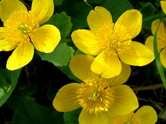 Kingcups (rosberond) Tags: flower yellow closeup gold oneofakind ooak norfolk karma marigold darkgreen marshmarigold calthapalustris kingcup woodbastwick riverbure buremarshes woodbastwickstaithe