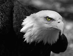 Eagle B&W (Nikon66) Tags: bw bird nikon eagle raptor fullhouse d200 peopleschoice worldbirdsanctuary featheryfriday 123bw 70200mmvr nikonstunninggallery 25faves abigfave anawesomeshot superhearts matizanimal copyright flickrcinated