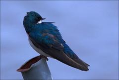 Pipe Dreams (Shari DeAngelo) Tags: bird pa swallow tinicum treeswallow tachycinetabicolor tc14eii nikond200 300mmf28gvr sharideangelo animalkingdomelite