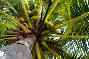 coconuttree.jpg