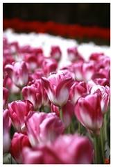 Tulip(Fil,m) 070414 #02