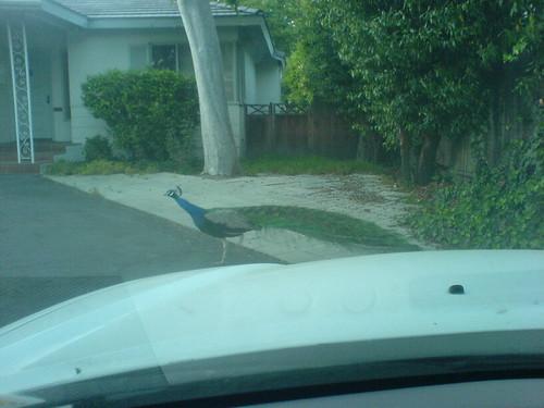 好孔雀不擋路