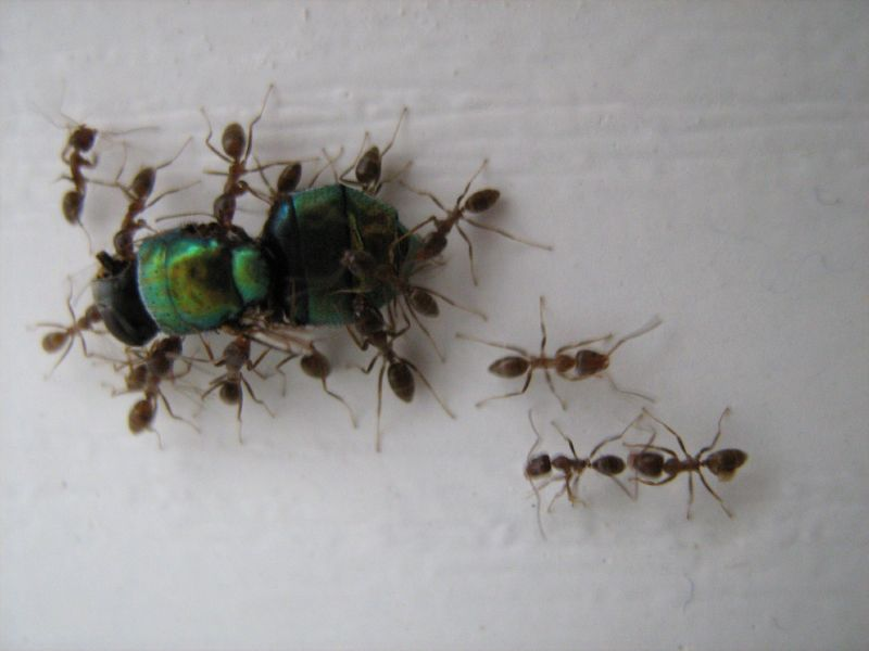 ants carrying a fly by adelle roux on flickr