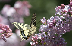 Swallowtail (Anduze traveller) Tags: flowers tag3 taggedout fleurs butterfly spring tag2 tag1 fv5 io papillon lilac afterclass printemps swallowtail lilas papilio naturesfinest machaon interestingness78 i500 specanimal photofaceoffwinner pfogold pfosilver pfomedals beautifulworldchallenges