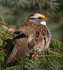 White-throated Sparrow (Male-Sunbathing) (William  Dalton) Tags: bird quality sparrow whitethroatedsparrow zonotrichiaalbicollis interestingness153 i500 specanimal abigfave explore153 avianexcellence