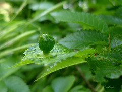 Tumor? (Landersz) Tags: macro green natuer caffarella