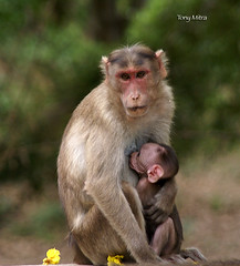 Mother and child (tonymitra) Tags: india rhesusmonkey naturesfinest