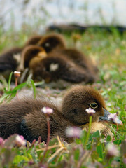 ducklings at the lake shore (lemank) Tags: bird duckling soe interestingness402 i500 specanimal abigfave anawesomeshot impressedbeauty