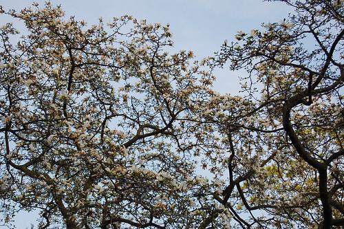 Blommande magnolia på Malmgården