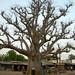 baobab- sénégal