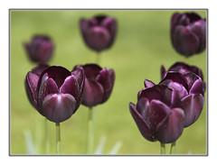 Tulpen (Tulips) (guenterleitenbauer) Tags: pictures flowers