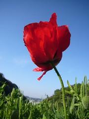 (fui) Tags: red flower japan hana poppy shirley kurihama