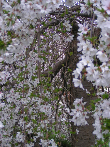 Weeping Cherry Tree Problems