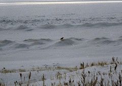 2007 0300 Wolf on LakeMIUS2 (lexup) Tags: winter lake wolf michigan upper upperpeninsula peninsula yooper us2