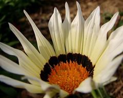 Zinnia (Kathy1976) Tags: flower nature zinnia