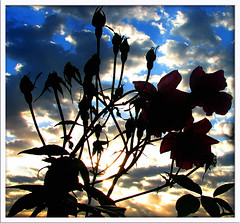 sunrise through roses 2 - by stilllearninghowtofly - W W Tribe Psychiatrist
