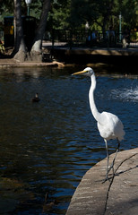 Intermediate Egret (David de Groot) Tags: park white bird water canon geotagged au australia brisbane queensland egret botanicgardens duckpond intermediateegret ardeaintermedia 400d canonef50mm118ii plumedegret geo:lat=27473928 geo:lon=153028994 utata:project=tw55