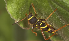 "Wasp Beetle (Clytus arietis) • <a style=""font-size:0.8em;"" href=""http://www.flickr.com/photos/57024565@N00/482737187/"" target=""_blank"">View on Flickr</a>"