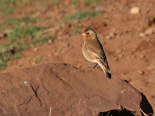 Crimson-winged Finch (Rhodopechys sanguinea)