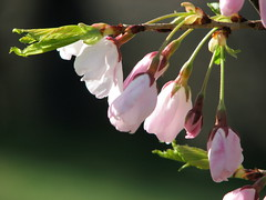 Cherry Tree (Lisa-S) Tags: pink flower green canon highpark bokeh lisas gta allrightsreserved 1756 s3is canons3is impressedbeauty copyrightlisastokes