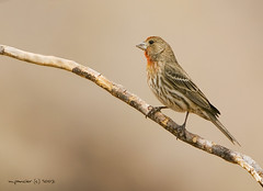 Male House Finch - Lake Meade, Nevada (Michael Pancier Photography) Tags: male birds desert nevada housefinch avian fineartphotography lakemeade naturephotography seor southwestusa nevadadesert malehousefinch supershot naturephotographer floridaphotographer michaelpancier michaelpancierphotography impressedbeauty wwwmichaelpancierphotographycom seorcohiba