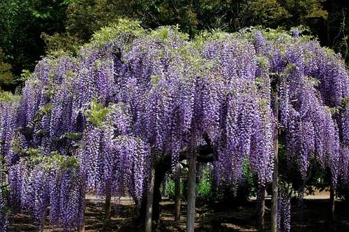 light purple wisteria