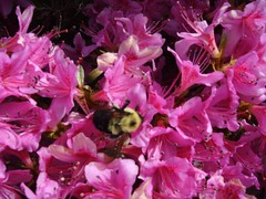 Bumblebee in Flowers 7 (geekattack) Tags: pink black flower yellow spring bumblebee bloom azalea pollen