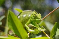 chameleon (Andy Ramanoelina) Tags: chameleon caméléon madagascar wildlifephotography photos pentax macro 50mm feuillage