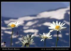 Alaskan Shasta Daisies (jimgoldstein) Tags: mountain snow nature floral alaska landscape photo homer daisy shasta wilderness jmggalleries jimmgoldstein