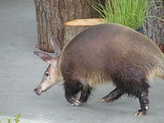 Kikuyu the aardvark (R.I.P.), Point Defiance Z...