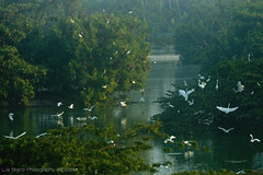 balance of life...  a symphony of white notes _... egrets from bali  (bocavermelha-l.b.) Tags: morning dawn greategret southchinasea greategrets littleegret ardeaalba egrettagarzetta casmerodiusalbus littleegrets  garabrancapequena ornitologia 80200mmf28 inbali ardeaalbaegretta garabrancagrande inindonesia innusadua tt likeaballerina feitobailarina shootingwithd70s wingsinflight assembliadegaras encontrodegaras foundintamanburunglagoon egretsassemble flockofegrets     m wildlifebali
