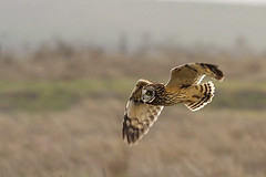 Short Eared Owl (copeg) Tags: california greg wildlife central flight valley short owl byron cope eared asio flammeus specanimal animalkingdomelite abigfave impressedbeauty copeg avianexcellence