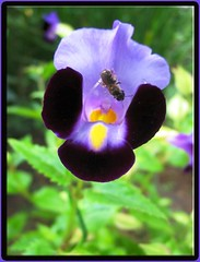 Torenia fournieri (Bluewings)