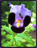 Torenia fournieri (Bluewings, Wishbone Flower)