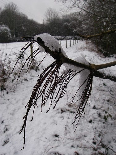 Weighed down by Snow