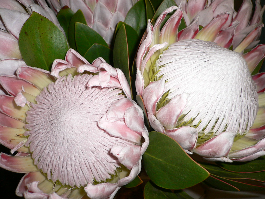 Exotic  Flowers (Protea cynaroides)