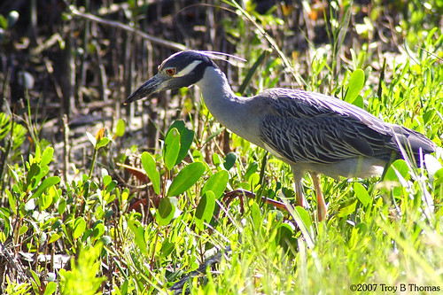 Yellow-crowned Night-Heron; Photography by Troy Thomas