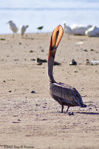 Pelican Beak; Photography by Troy Thomas